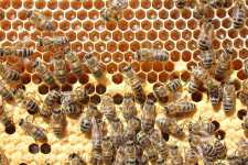 Bees convert nectar into honey and take care of larvae_web