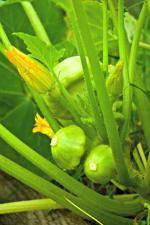 Button Squash Smarty Plants Plants For Kids