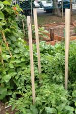 St Kilda garden_stakes_tomatoes