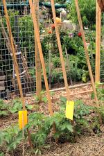St Kilda garden_stakes_tomatoes_2