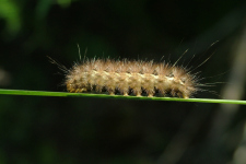 Caterpillar hairy_web