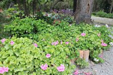 Ground cover_geranium